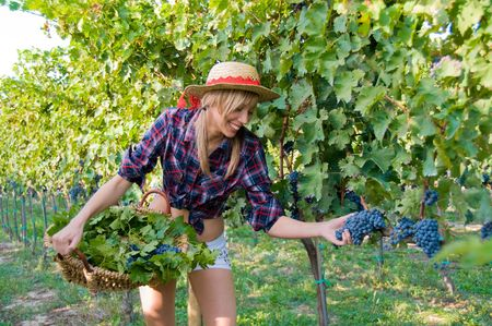Young woman harvesting grapes in the vineyard Stock Photo