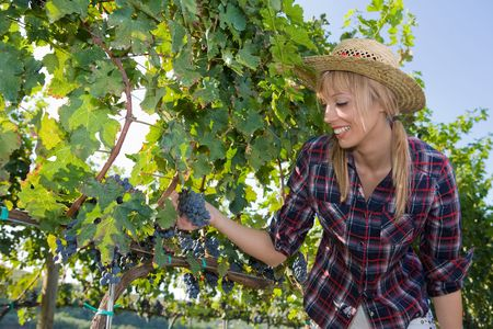 Young peasant woman  watching the grapes during the harvest photo