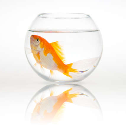 Big goldfish in a small bowl - White background
