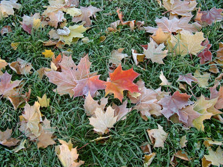 Autumn leaves on the frozen grass photo