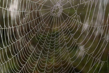Openwork cobweb in dewdrops