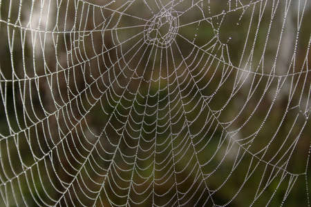 dewdrops: Openwork cobweb in dewdrops
