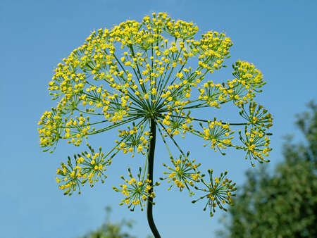 umbel: Yellow umbel of dill on blue sky Stock Photo