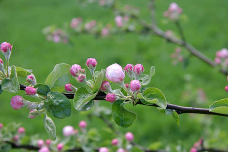 Close-up shot of branch of crab apple tree flowers photo