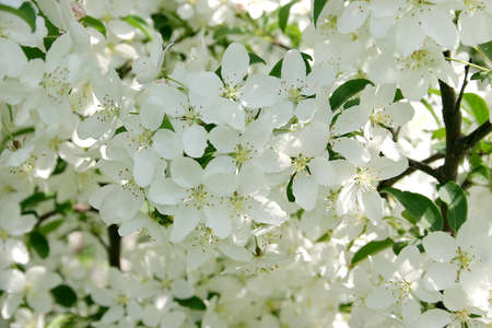 Close-up shot of beautiful white flowers of crab apple in spring photo