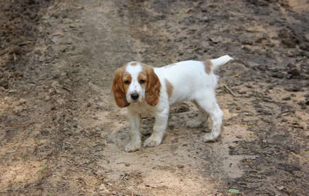 pathetic: lonely pathetic sad puppy of spaniel on earth road