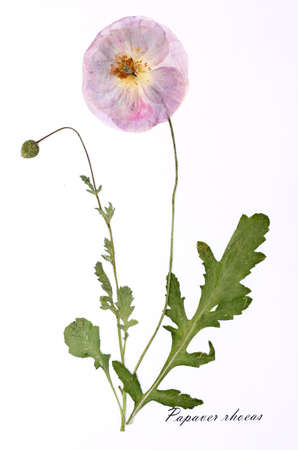 papaver rhoeas: Picture of dried flowers signed in Latin. Papaver rhoeas, poppy