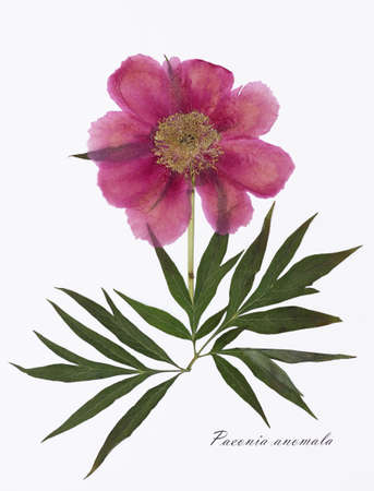 signed: Picture of dried flowers signed in Latin. Peony, Paeonia anomala