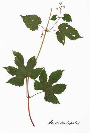 hop plant: Humulus lupulus, hop plant. Herbarium from dried herb with Latin subscript. Stock Photo