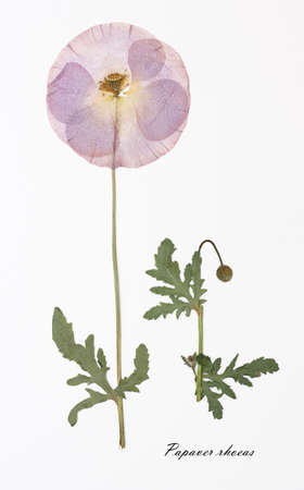 papaver rhoeas: Papaver rhoeas, poppy. Herbarium from dried blossoming flower with Latin subscript.