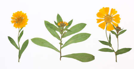 pot marigold: Picture of dried flowers in several variants Herbarium from dried blossoming flower arranged in a row. Stock Photo