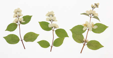 philadelphus coronarius: Picture of dried flowers in several variants Herbarium from dried blossoming flower arranged in a row. Stock Photo