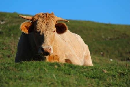 cow lying Stock Photo