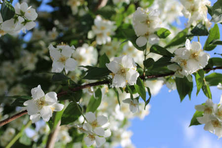 philadelphus: spring flower Stock Photo