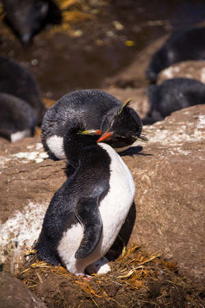 nesting: nesting rock-hopper PENGUIN