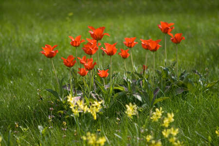 red tulips on a grass background  photo