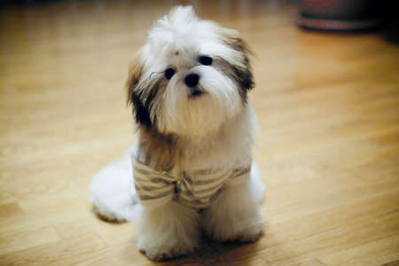 Cute shiatsu dog photo