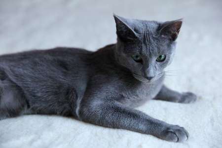 A beautiful gray cat with a pedigree. Stock Photo