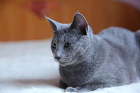 A gray thoroughbred cat in all its glory. Stock Photo