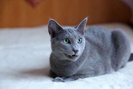 A wonderful gray cat with a pedigree.