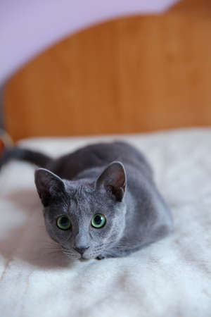 A beautiful gray cat resting Stock Photo