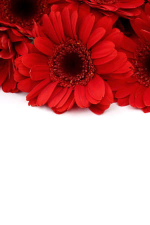 Gerbera is large flowers with vivid colors.