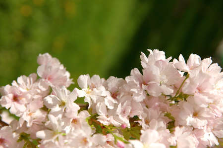 Cherry Pie is a decorative tree blooming. Profusely with white flowers in the spring.