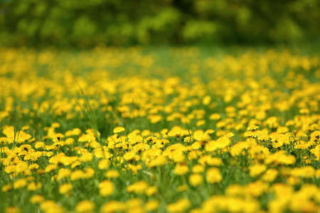 Meadow with yellow dandelion flowers amidst green grass in spring time.