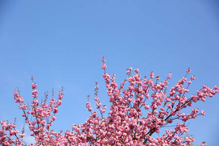 In the spring time, an apple blossom is decorated with pink flowers in large quantities.