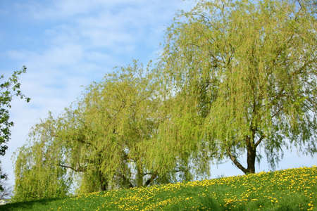 Spring landscape with yellow flowers and dandelion flowers. Stock Photo
