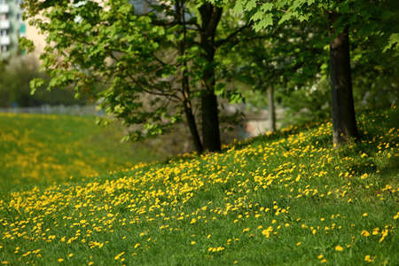 Spring landscape with yellow flowers and dandelion flowers. Фото со стока