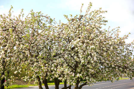 The old apple variety blossomed again in early spring. 版權商用圖片