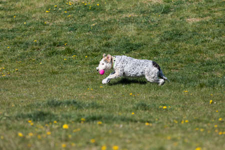 A shaggy dog with curly hair runs on a meadow dotted with yellow flowers.