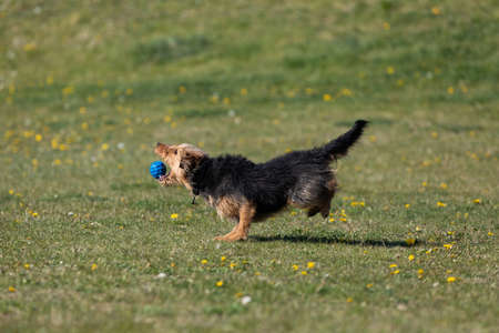 A dog runs on the green lawn and has learned to properly retrieve a rubber ball. Banco de Imagens