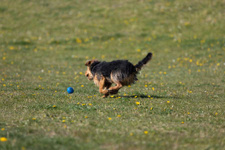 A dog runs on the green lawn and has learned to properly retrieve a rubber ball.