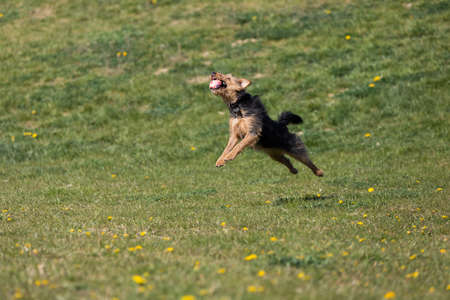 On the green catwalk, the dog trains hard jumps to catch the ball.