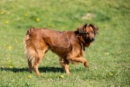 The mixed-breed dog stands uncertain on the green lawn and looks intensely.