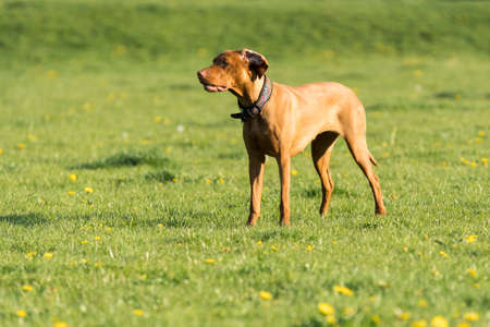 A large bitch with a light brown coat is standing far in the green meadow and is waiting for the next command to be issued.