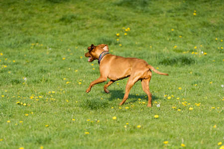 Big light brown bitch. Purebred breeding dog. Runs over the green link on a spring sunny afternoon. Stock Photo