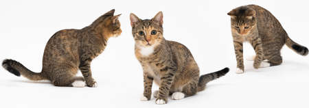 Collection of many different cat behaviors placed on white background. She-cat is a crossbreed of many breeds widespread in Europe. Long tail and erect ears with brown and black color. Panoramic view.