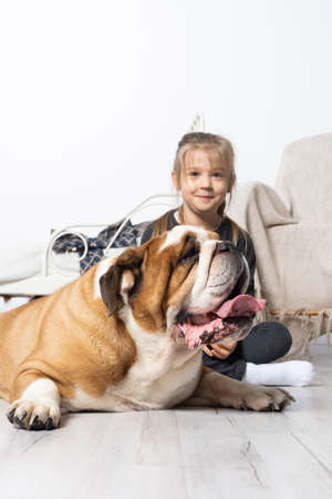 Little girl is petting the dog. English Bulldog as a faithful friend of man. A breed with a brown coat with white patches. Banco de Imagens