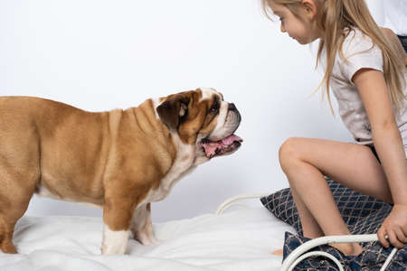 The girl is playing with her dog friend on her own bed at home. A breed with a brown coat with white patches.