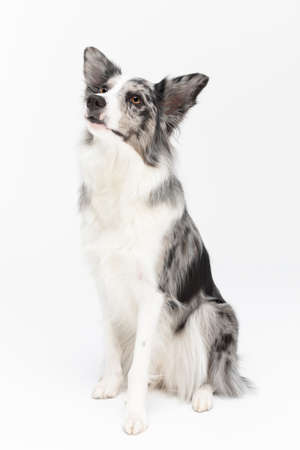 The Border Collie is sitting alert and waiting for his next command. Purebred dog with proven pedigree. Intelligent herding dog.