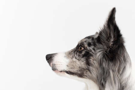 You can see the head of a Border Collie with a pedigree at a close up. Purebred dog with proven pedigree. Intelligent herding dog.