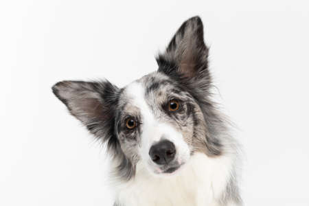 You can see the tilted head of a Border Collie dog with a pedigree close up, which is surprised and curious. Purebred dog with proven pedigree. Intelligent herding dog. Stock fotó