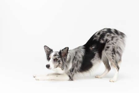 A well-trained dog can even bow. Border Collie dog. Purebred dog with proven pedigree. Intelligent herding dog.