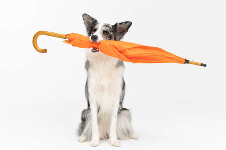A properly trained dog can hold an orange umbrella in its mouth in a sitting position. Border Collie dog. Purebred dog with proven pedigree. Intelligent herding dog.
