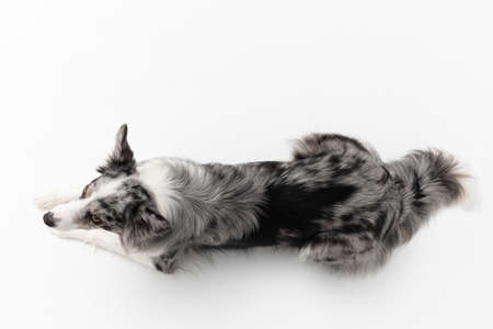 Border Collie dog cries after human voice command on a white background. Top view. Purebred dog with proven pedigree. Intelligent herding dog. Imagens