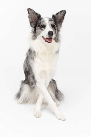 A masterfully trained dog sits on its butt and has its front paws crossed. Border Collie dog. Purebred dog with proven pedigree. Intelligent herding dog.