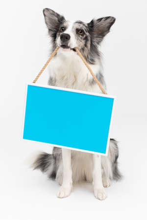 A wisely trained dog sits politely on its and holds a frame with a blue background in its teeth. Border Collie dog. A purebred dog with a proven pedigree. Intelligent herding dog.
